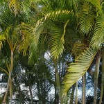 Palm trees bunched tall grouped together