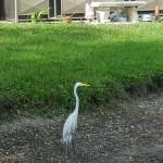 Our pool side friend a snowy egret