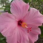 Big Amazing Hibiscus Pink