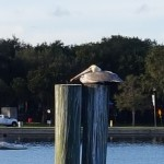 Downtown Saint Petersburg, Florida over looking the water and a pelican on a piling