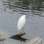 Snowy Egret on driftwood on lake in Saint Petersburg Florida