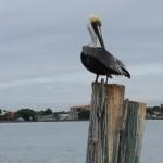 Pelican at John's Pass Florida