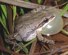 Western Chorus Frog